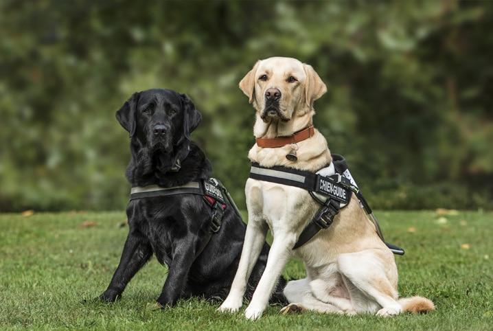 dois cães que são guias um preto e um branco