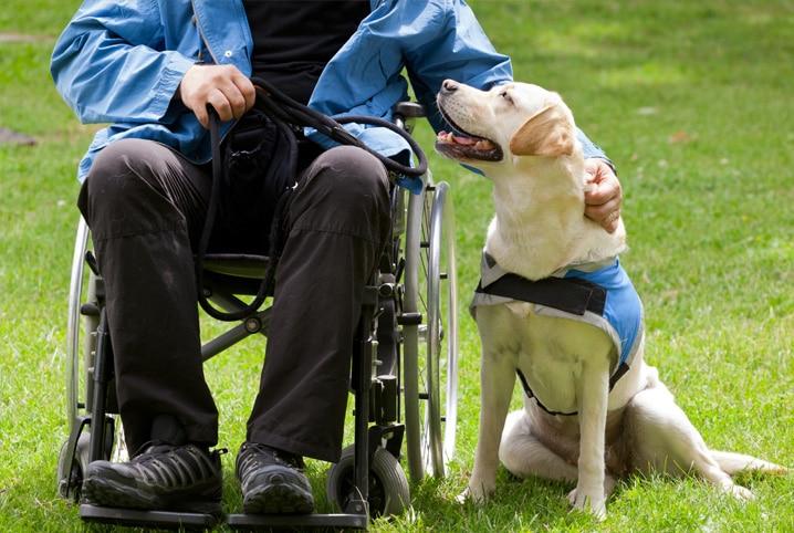 cão-guia com cadeirante