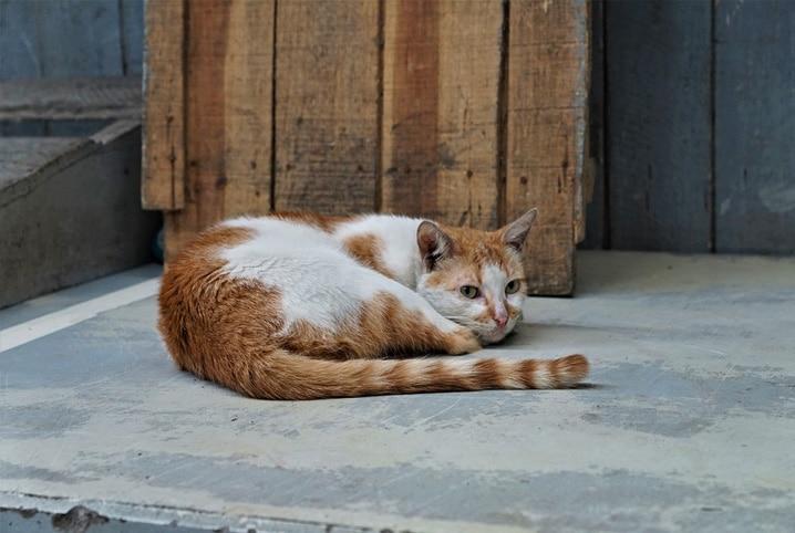 Rabo de gato quebrado