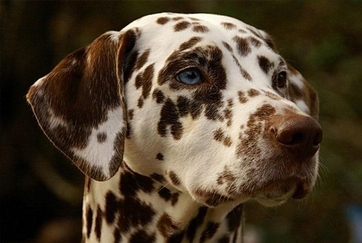 Sarna demodécica: saiba como tratar a doença em pets