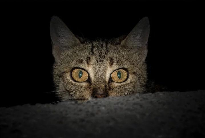 gato em fundo preto com olhar profundo