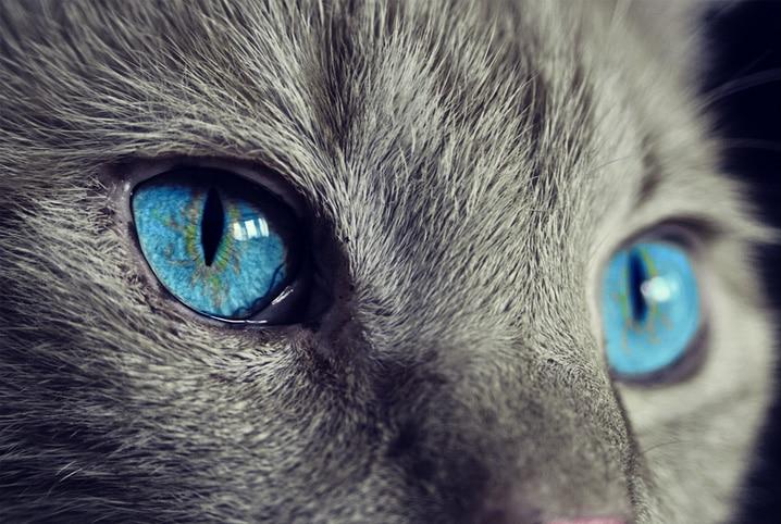 gato de olho azul claro
