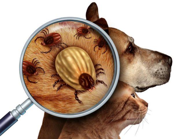 O que é a doença do carrapato e como tratar?