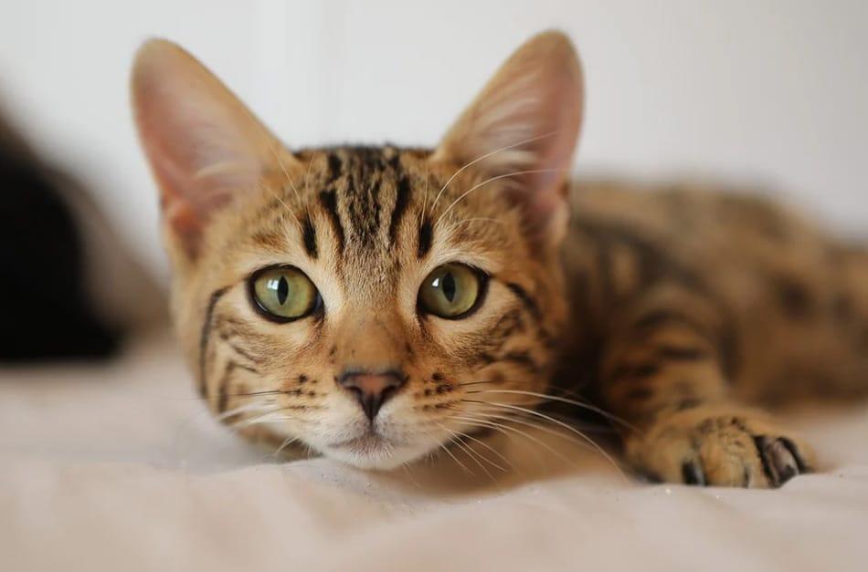 Gatinho deitado com orelhas levantadas