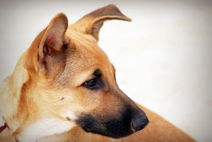 cachorro olhando para o lado com orelhas levantadas