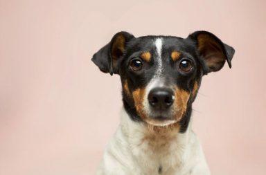 Cachorro branco e preto com manchinhas marrons no focinho em fundo rosa claro