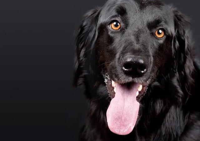 O que é dirofilariose em cães? Tem tratamento?