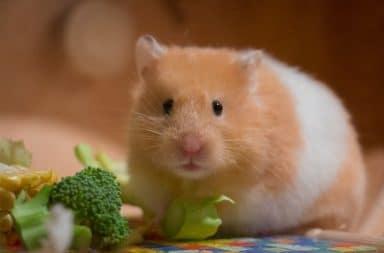 Hamster comendo legumes
