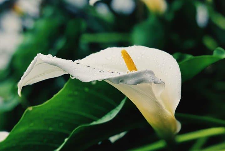 Copo-de-leite em destaque, uma planta venenosa para cães