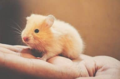 Hamster na palma da mão