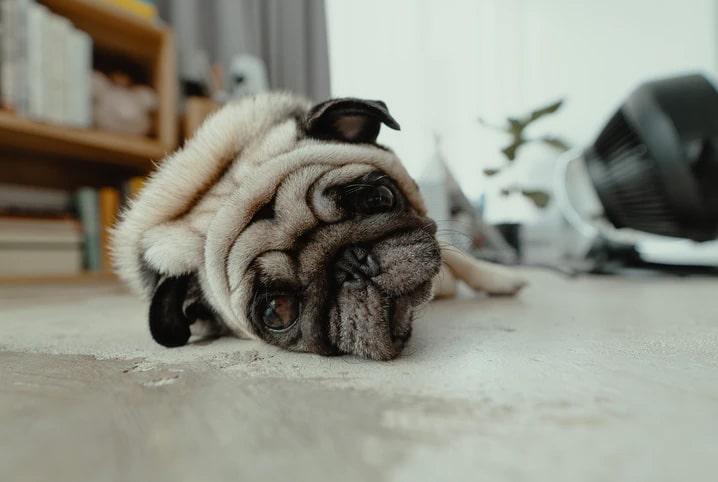 cachorro triste com dor de barriga