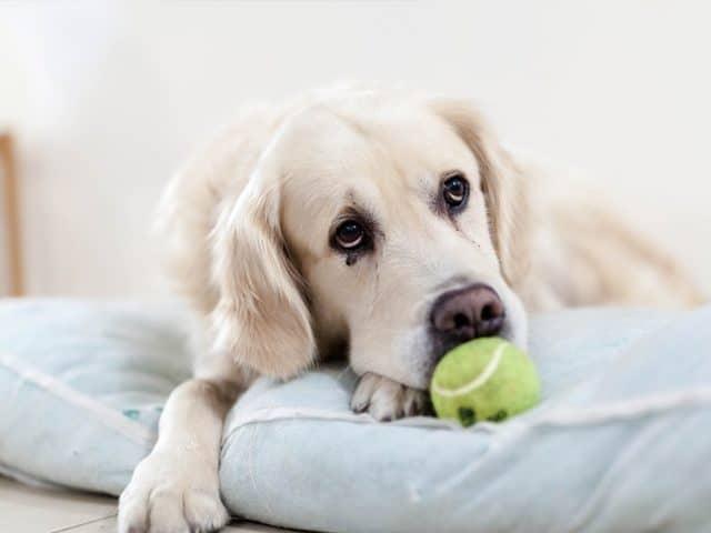 Cachorro com dor de barriga? Descubra o que pode ser
