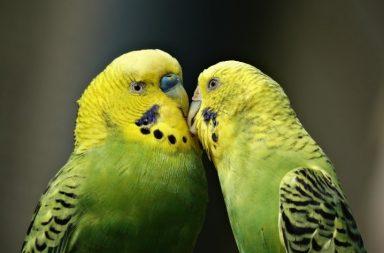 Dois periquitos de plumagem amarela e verde