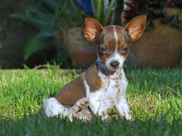 Como limpar o ouvido do cachorro? Veja o passo a passo