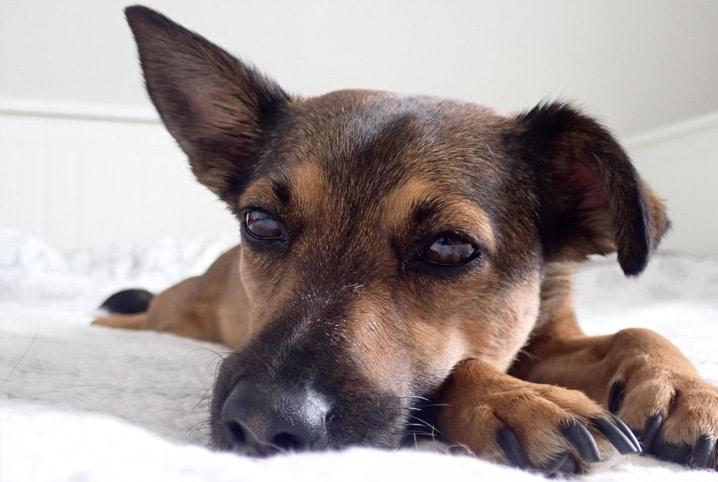 cachorro deitado com a orelha levantada