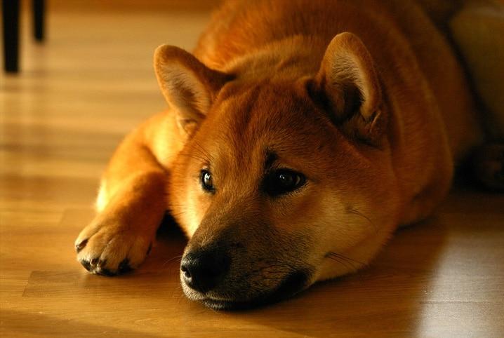 cachorro deitado e triste