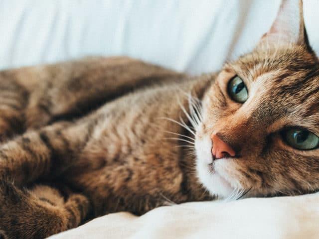 O que causa a peritonite infecciosa felina?