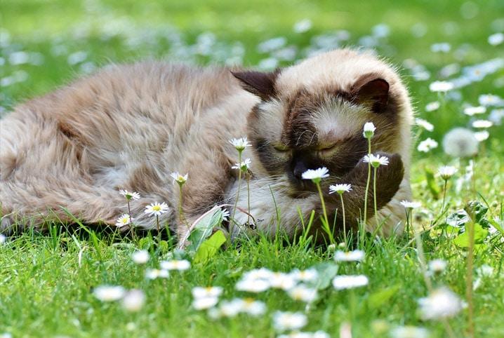 Peritonite infecciosa felina