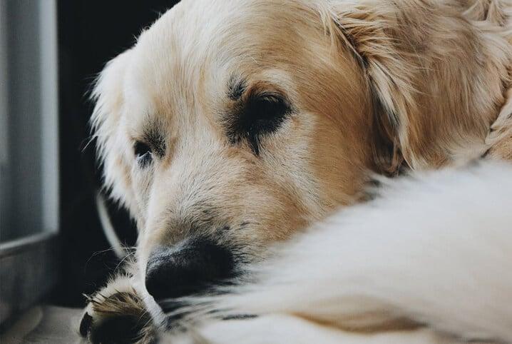 cachorro tristonho