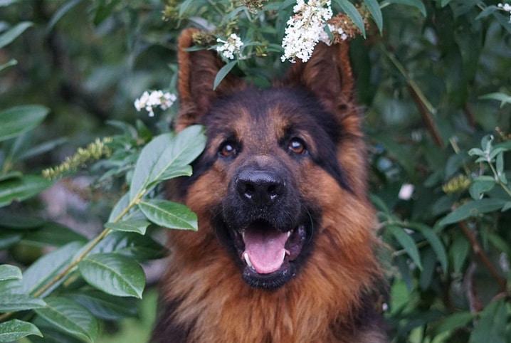 cachorro labrador com a língua de fora