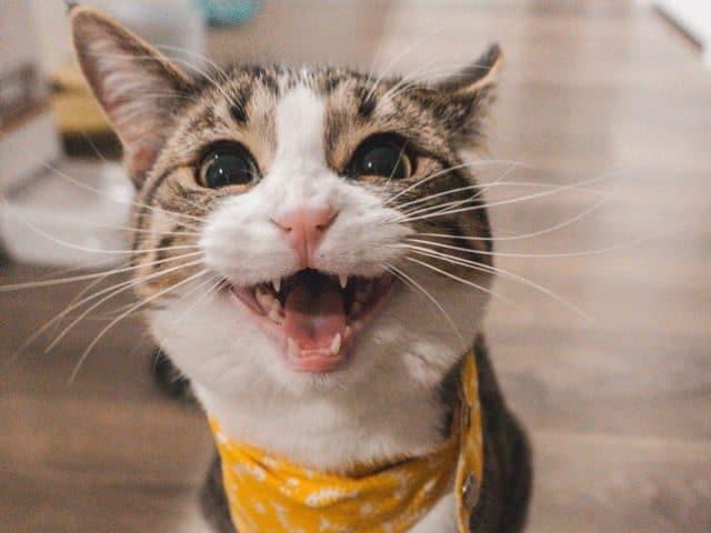 Quando o gato troca de dente?