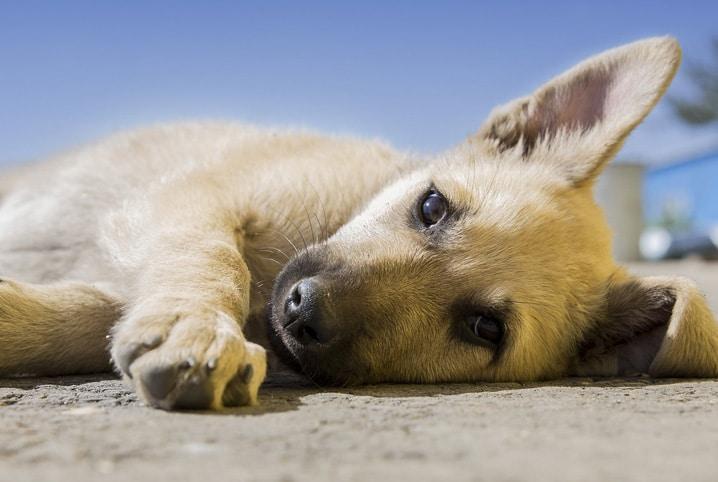 cachorro deitado no chão