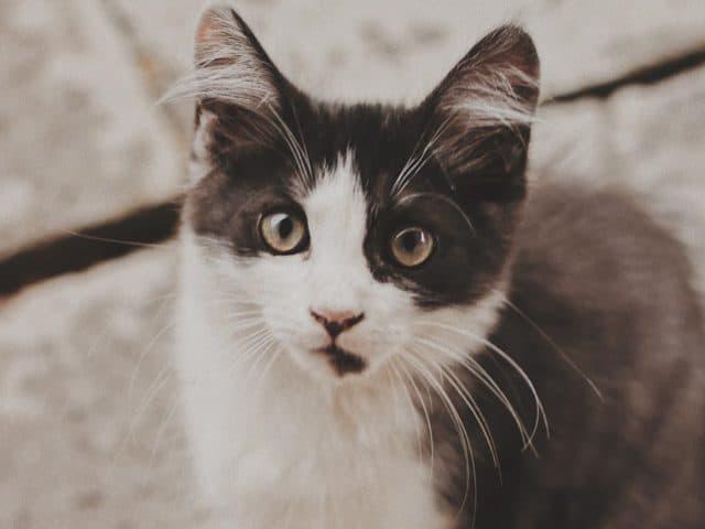 Micose em gatos: o que é e como tratar
