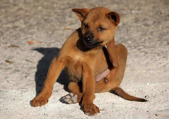 Como acabar com o piolho em cachorro? Veja as alternativas