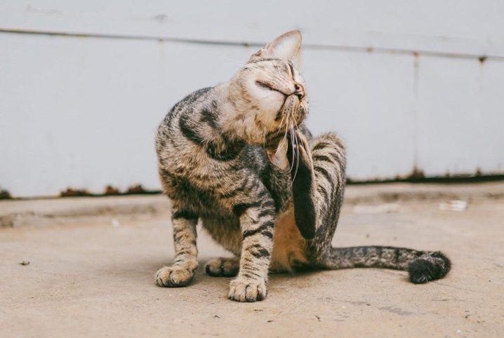 piolho de gato