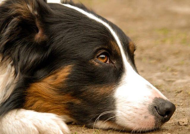 Conheça o Alzheimer canino ou síndrome da disfunção cognitiva