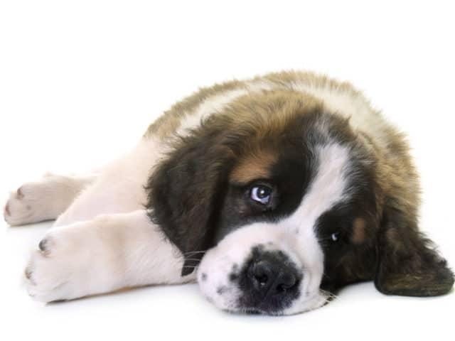 Cachorro com gases: veja o que fazer para ajudar o seu pet