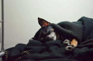 anestesia para cachorro