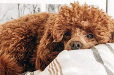 cachorro cansado
