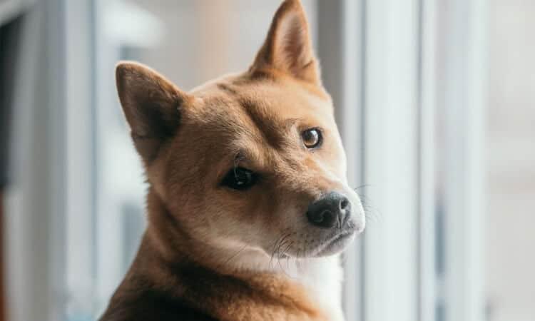 cachorro estressado