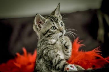 como-dar-remedio-de-verme-para-gato