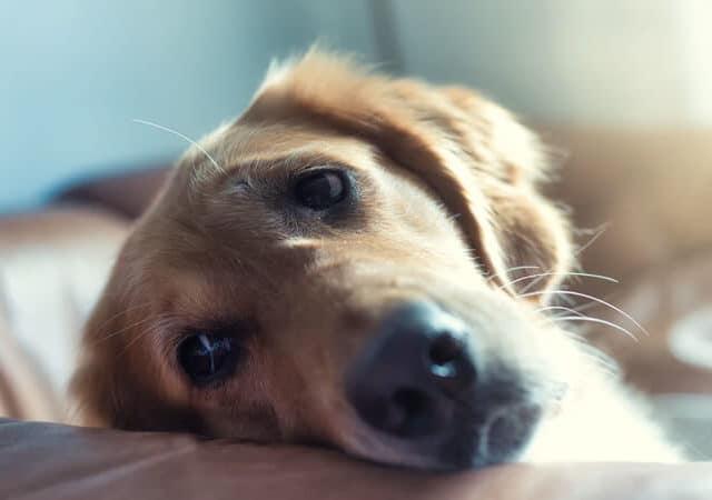 Permetrina para cachorro: para que serve e quando usar?