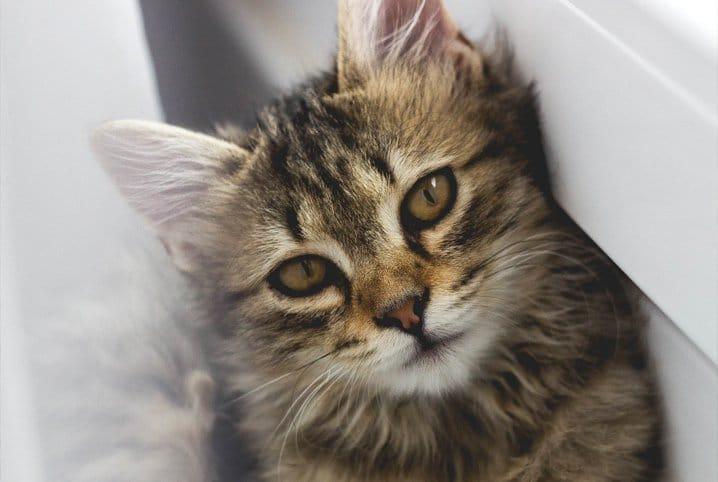 gato coçando muito a orelha