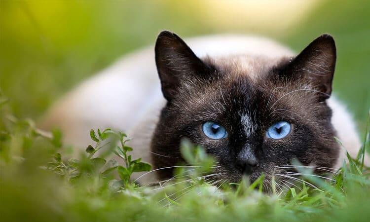 diazepam para gatos