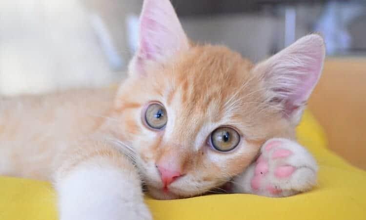 exame-de-sangue-de-gato
