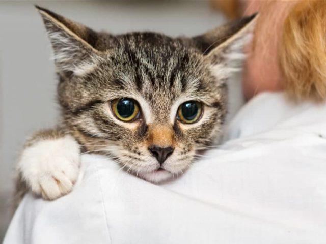 Viu o gato coçando muito a orelha? Descubra o que pode ser
