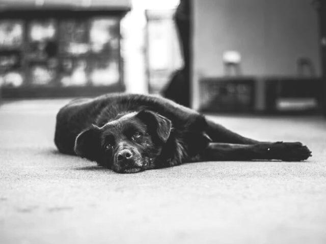 Quais são as causas de paralisia em cães e como tratá-la?